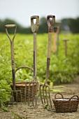 Pitchforls in a field