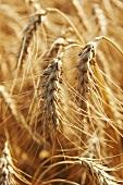Wheat field (Close up)