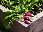 Freshly picked radishes on the edge of a raised vegetable bed