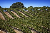 Vineyard, Central Coast, California, USA