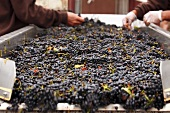 Pinot Noir grapes on sorting table, De Loach Vineyards, California, USA