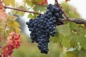 Zinfandel grapes on the vine, Sonoma Valley, California