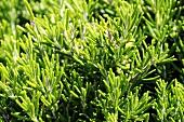 Rosemary (macro zoom)