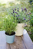 Rosemary and lavender in pots