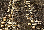 Onions drying in a field