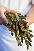 Cook holding freshly picked asparagus (Saundersfoot, Pembrokeshire, Wales)