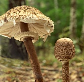 Two parasol mushrooms in a forest