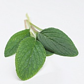 Fresh borage leaves (borago officinalis)
