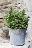 Peppermint in a pot on a stone wall