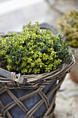 Lemon thyme 'aureus' in a flowerpot
