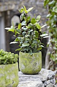 A bay laurel plant in a stone pot
