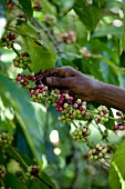 A hand picking coffee beans from a bush (Sri Lanka)