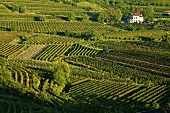 Movia vineyard, Slovenia
