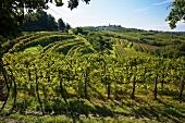 Weinanbaugebiet bei Dobrovo, Slowenien