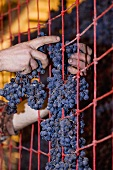 Red grapes drying for Amarone production (Monte dei Ragni wine cellar)