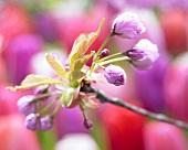 Cherry blossoms buds (prunus)
