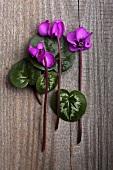 Violets (cyclamen coum) on a wooden surface