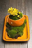 Buttercups (eranthis hyemalis) growing from a small pumpkin surrounded by moss