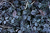 Blackberry leaves covered in soft rime