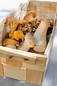 Various fresh wild mushrooms (porcini mushrooms, chanterelle mushrooms, cauliflower mushrooms) in a wooden basket