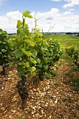 Old Pinot Noir vines, Premier Cru region above Nuits-St-Georges with a rising red ground, Burgundy, France