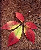 Ahornblatt mit Herbstverfärbung