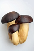Bay Bolete (Xerocomus badius), also brown caps
