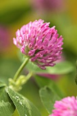 A pink clover flowers