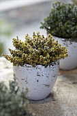 Thyme 'Silver Queen' (Thymus citriodorus) in an herb pot
