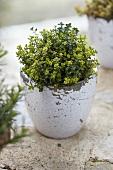 Thyme (Thymus citriodorus) in an herb pot