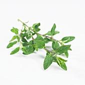 Sage (Salvia S17)