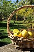 A basket of freshly picked lemons