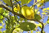 Lemon tree with ripe fruit (close up)