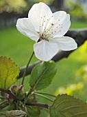A cherry blossom