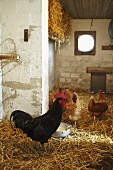 Rooster and chickens in a stall