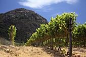 Vineyard inConstantia, Western Cape, SA