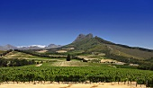 Vineyard with Sauvignon Blanc grapes (Warwick Estate, Simonsberg Mountain, Stellenbosch, SA)