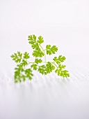 A sprig of chervil