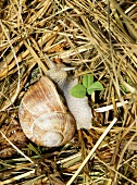 A vineyard snail in straw