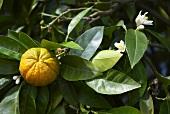 Mandarins and leaves on a tree