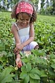 Mädchen pflückt Erdbeeren im Erdbeerfeld