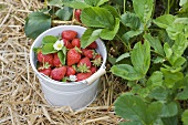 A bucket of freshly picked strawberries in a strawberry field