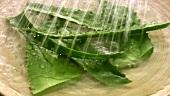 Wasser über Aloe Vera Blätter gießen