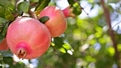 Drei Granatäpfel am Baum