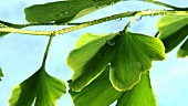 Ginkgo leaves with dewdrops