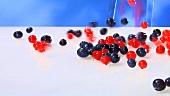 Rote Johannisbeeren und Blaubeeren fallen auf weissen Untergrund