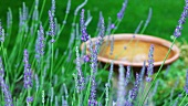 Flowering lavender, bird bath in background