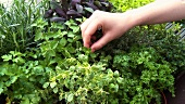 Hand picking fresh herbs in herb garden