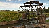 Water wheel, vineyard in background, Keimoes, South Africa