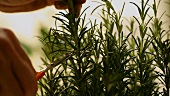 Cutting rosemary with scissors